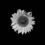 Fiore grigio